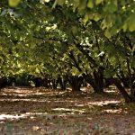 La resa e la sgusciatura della Nocciola Piemonte IGP